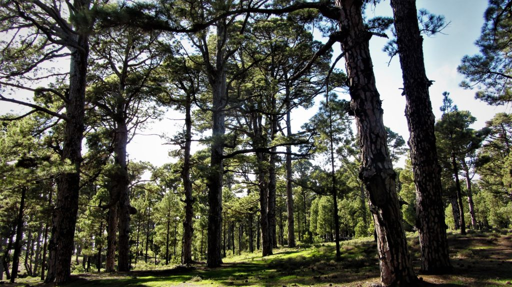 Old pine trees near El Pinar
