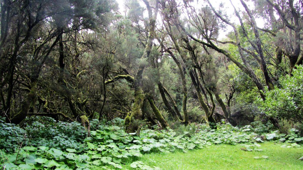 Forest interior between El Pinar and Valverde
