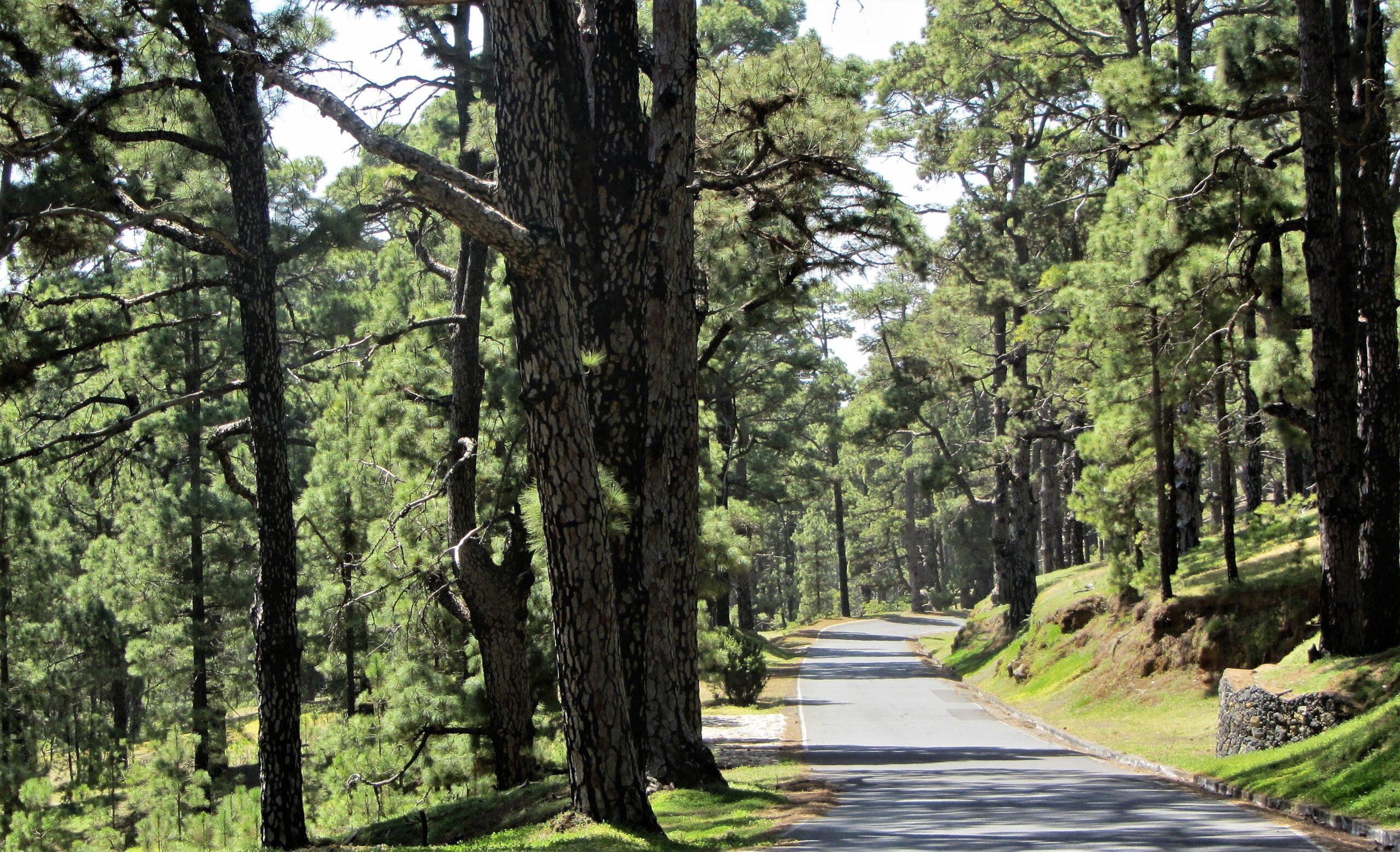 El Pinar forest road