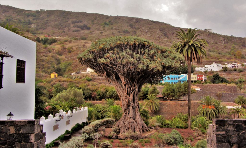 The famous landmark of the town: Drago Millenario Tree